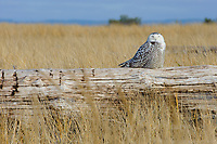 Snowy Owl (Bubo scandiacus) roosting on coastal driftwood. Grays Harbor County, Washington. December.