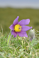 PASQUEFLOWER Pulsatilla vulgaris (Ranunculaceae)  Height to 25cm. Silky-hairy perennial of dry, calcareous grassland. FLOWERS are purple, bell-shaped with 6 petal-like sepals; upright at first, then nodding (Apr-May). FRUITS comprise seeds with long silky hairs. LEAVES are divided 2 or 3 times and comprise narrow leaflets. STATUS-Rare and restricted to a few sites in S and E England.