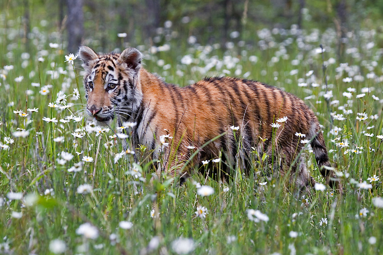 Young tiger walking through a field of wild daisies - CA