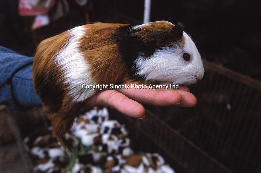 Guinea pig at the live animal and food market. Guinea pigs are sold live as popular food that is used in hot pot and a medicinal broth that is believed to be good for health and to keep the hair from going grey...PHOTO BY SINOPIX