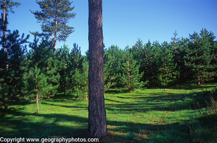 A07WY2 Conifer trees Suffolk Sandlings England
