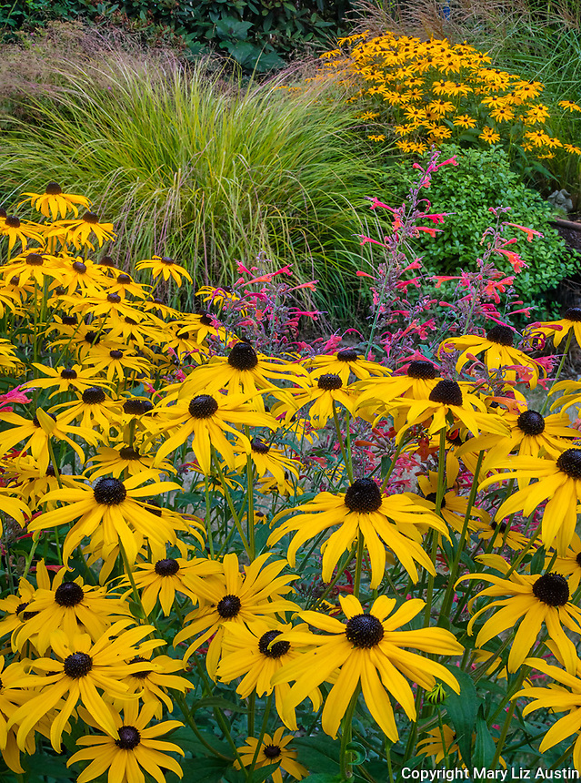 Vashon-Maury Island, WA: Summer perennial garden with blooming Rudbeckia fulgida 'Goldsturm', Agastache 'Red Coronado' and Pheasant's-tail grass (Anemanthele lessoniana)