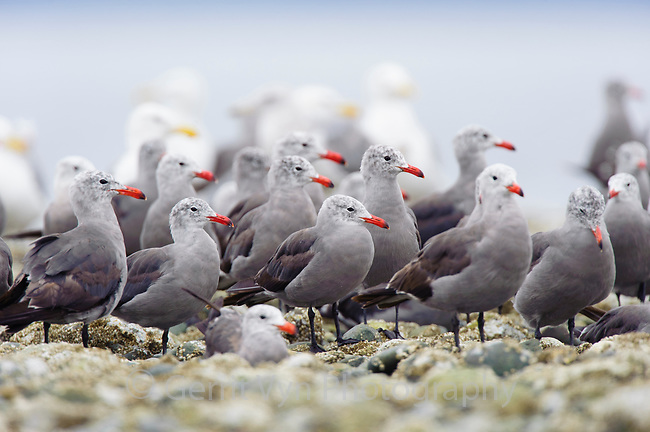 Flock of adult Heermann's Gulls (Larus heermanni) on intertidal rocks. Jefferson County, Washington. August.