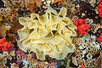 eggs of sea lemon, Peltodoris nobilis, Browning Pass, British Columbia, Canada, Pacific Ocean