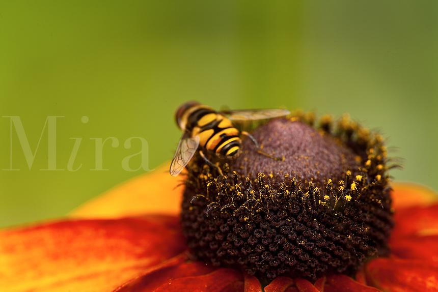 Honey bee on orange flower against yellow backdrop
