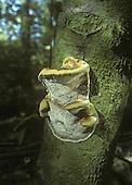 Alder Bracket - Inonotus radiatus