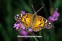 03405-003.15 American Lady butterfly (Vanessa virginiensis) on Brazilian Verbena (Verbena bonariensis), Marion Co.  IL