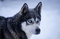 Amérique/Amérique du Nord/Canada/Quebec/Saint-Aimé-des-Lacs : Chien de traineau Husky de Sibérie