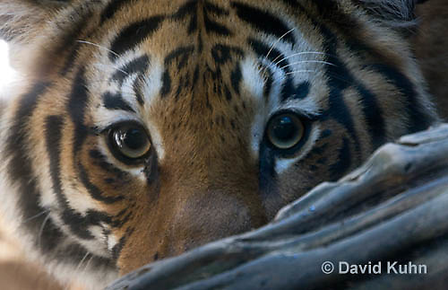 0328-1009  Malayan Tiger, Panthera tigris malayensis  © David Kuhn/Dwight Kuhn Photography.