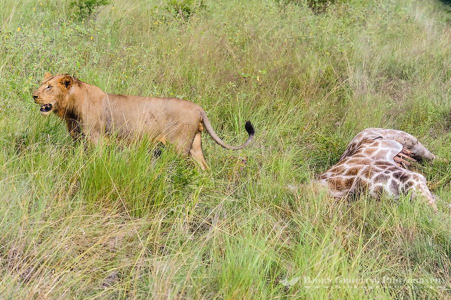 Young male lions feeding on a fresh kill; a giraffe. Kruger National Park, the largest game reserve in South Africa.