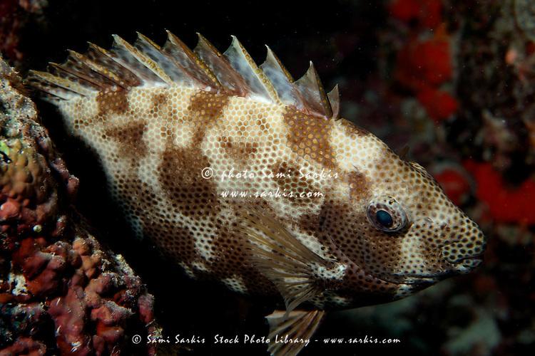 Mottled Rabbitfish (Siganus siganidae) swimming around rocks, Okobe, North Male Atoll, Maldives.