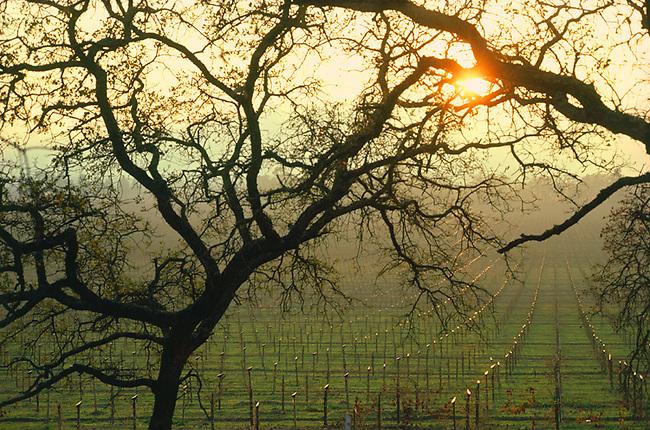 Sun sets across vineyard in Napa Valley