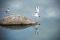 Bonaparte's gulls go their separate ways on the Kenai Riverin south central Alaska.