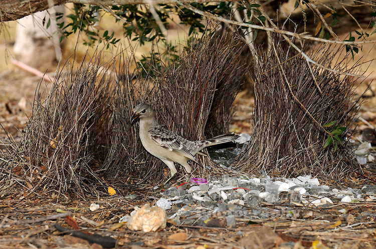 The Great Bowerbird is a large greyish bird with dark bill. The upper parts are fawn grey with darker markings on top of head. The wings are brown with white markings on the feathers. The male has a lilac crest on back of neck, but this is usually only seen when it displays for a female. The male builds a large bower under a shrub or leafy branch. It is a platform of twigs with an avenue of twigs about a metre long and 45cm high. At each end of the bower it makes a display area scattered with white stones, bones, shells and leaves.