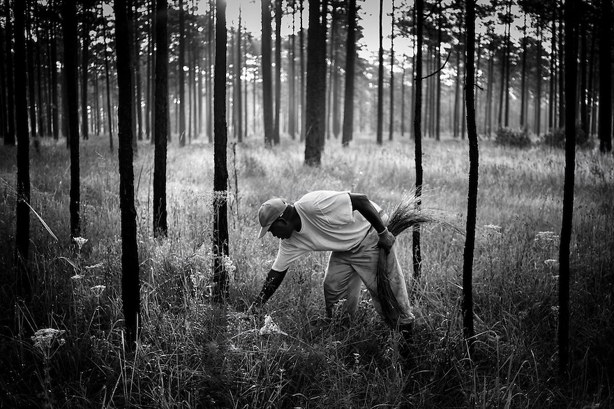 Mt. Pleasant resident Darryl Stoneworth harvests sweetgrass on property owned by the Okeetee Hunt Club near Hardeeville, South Carolina. With all of the traditional areas to harvest the grass in Mt. Pleasant now shut off to the Gullah due to the development of shopping centers and private residential communities, Stoneworth travels the 90 miles south to Hardeeville a few times each week during the month of July to pull the grass. The hunt club is closed for about a month during the summer and the management allows the Gullah to pull the grass at that time at no charge.