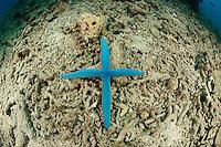 Linckia laevigata, kreuzfoermiger Blauer Seestern mit nur 4 Armen, Blauer Rundarmstern, Blue Sea Star in the shape of a cross,  Pemuteran, Bali, Indonesien, Asien, Indopazifik, Indonesia, Indo-Pacific Ocean, Asia