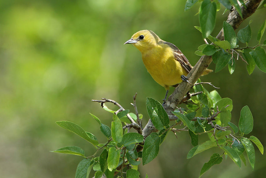 The smallest North American oriole, the Orchard Oriole is found nesting in shade trees along streams, rivers and lakes, and on farms and parklands.