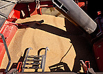 The hopper of a case 8120 combine that contains the raw wheat kernels.