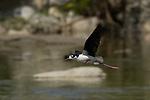 Stilt Hurdles Black-necked Stilt in Flight Los Angeles River Southern California