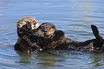 sea otter female and pup at Moss Landing, CA