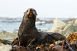 New Zealand Fur Seal (Arctocephalus forsteri) bull, Kaikoura, South Island, New Zealand