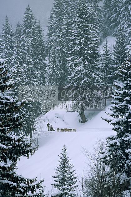 Europe/France/Rhône-Alpes/74/Haute-Savoie/Avoriaz: randonnée en traineau à chien dans la forêt de sapins enneigés