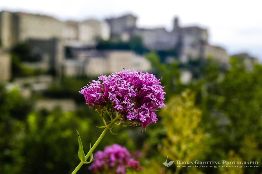Red flower in Gordes. Gordes is a picturesque mountain village in Provence, southern France.