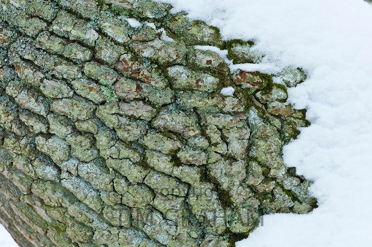 Snow-covered tree bark in The Cotswolds, UK