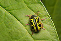 Leaf Beetle {Zygogramma sp.} on vegetation. San Jose, Costa Rica. May.