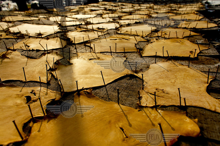 Animal skins nailed to wooden boards during leather processing in a tannery. It is thought that 90% of tannery workers in Bangladesh suffer from some kind of disease because of chemical exposure while thousands of litres of contaminated water are dumped into the country's rivers.