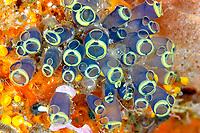 Clavelina robusta tunicate, Lekuan satu, Bunaken, Celebes sea, Pacific Ocean, Sulawesi, Indonesia, Asia