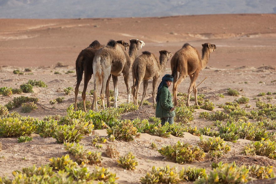 A boy with a herd of dromedaries in the Sahara desert.