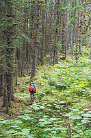 Hiker in the old growth forest along the lost coast near the Grand Plateau Glacier,  Glacier Bay National Park, Alaska.