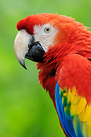 scarlet macaw, Ara macao, Central America