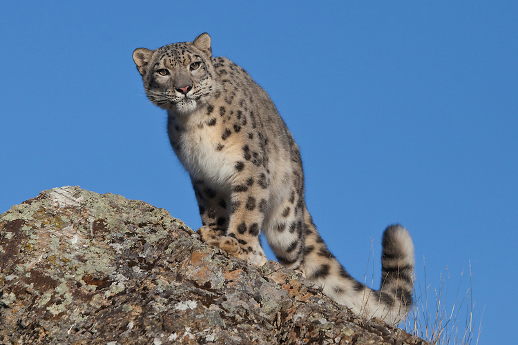 Snow Leopard watching intently from atop a rocky cliff - CA