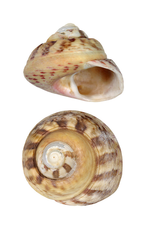 Turban Top Shell - Gibbula magus