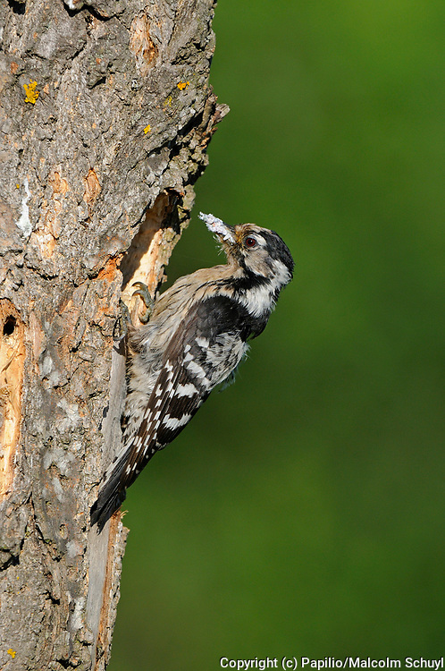 Lesser Spotted Woodpecker (Dendrocopos minor) female at nest hole with food, Bulgaria
