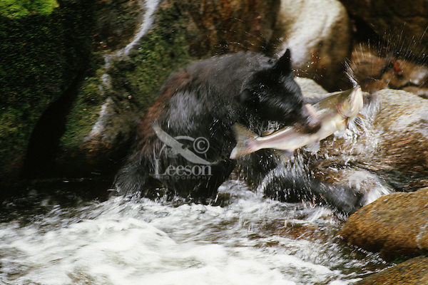 Black bear (Ursus americanus) catching salmon