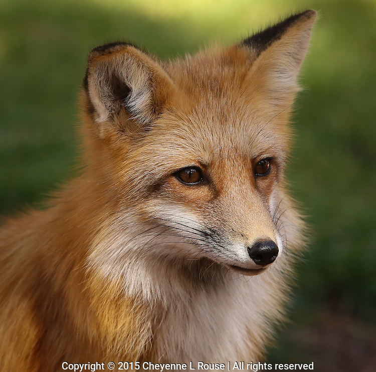 Red Fox - Arizona<br />