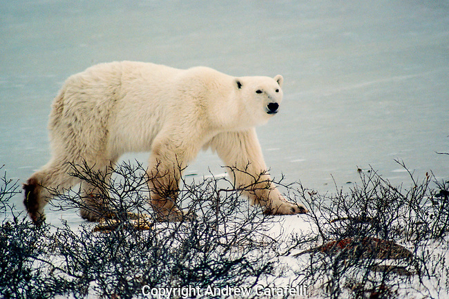 A large polar bear wanders the shore looking for food  near Churchill, Canada.