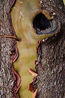 Madrona (Arbutus menziesii) Bark Detail, Jones Island State Park, San Juan Islands, Washington, US