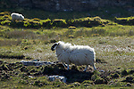 Mouton Scottish Blackface. grimsay island.