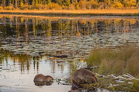 Two North American Beaver (Castor canadensis) at communal feeding area along edge of pond.  Northern Rockies,  Fall (late evening light).  Beaver often have a regular (usually several) feeding area within their home territory where they will bring small limbs to feed on.  Note: the larger beaver on the right is an adult while the other one is a young one born earlier in the year (probably four to five months old).
