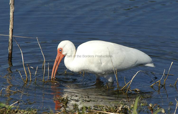White ibis feeding during breeding season - note the red legs.