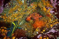 Tiger Rockfish   and China Rockfish Haida Gwaii