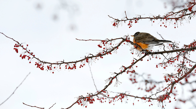 American robins, decked out in their full winter plumage, feast on berries in the Quad at the Lincoln Park Campus of DePaul University in Chicago, Tuesday, Jan. 7, 2014. (Photo by Jamie Moncrief)