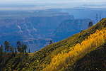Aspens on hillside on the north rim of the grand canyon