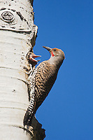 Northern Flicker (Colaptes auratus),Red-shafted form, male at nesting cavity with young,Rocky Mountain National Park, Colorado, USA