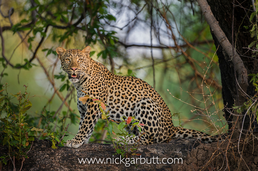 Young female Leopard (Panthera pardus) sitting on a tree bough in late afternoon sunshine. South Luangwa National Park, Zambia, Africa.