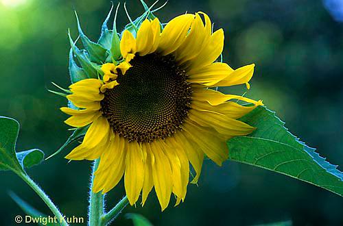 HS13-073c  Sunflower - Helianthus spp